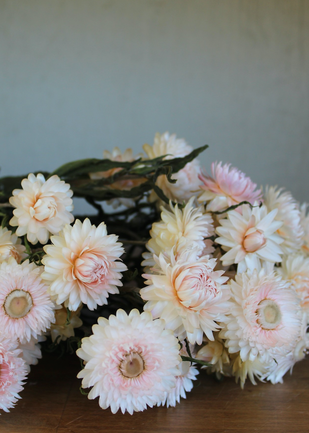 Dried Strawflowers In Ivory Blush 18 20 Tall Fall Wedding Flowers Dried Flowers Pink Wedding Flowers