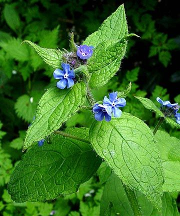 Alkanna Tinctoria Seeds alkanet to treat varicose veins on herbal medicine from your garden