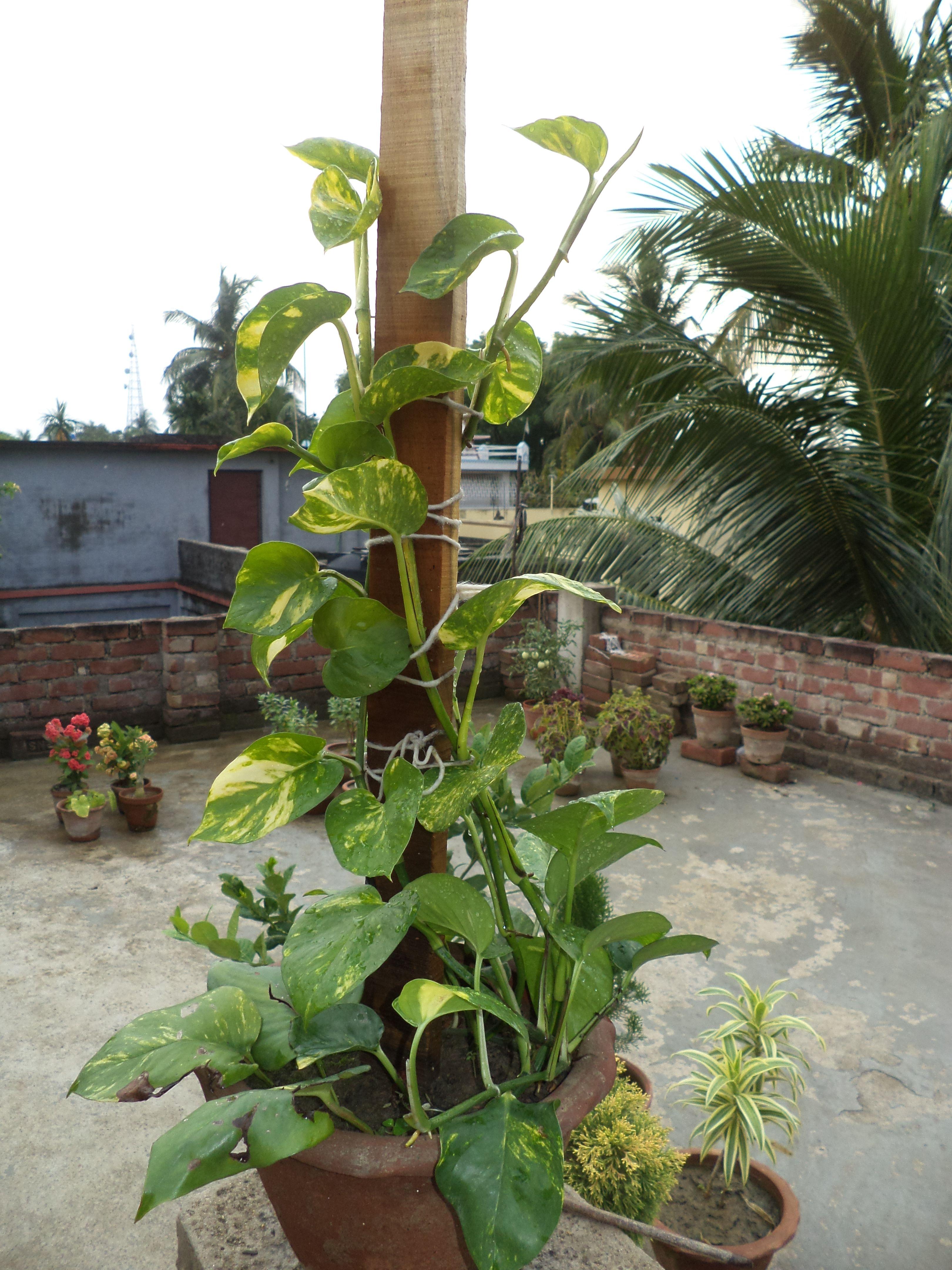 Growing Pothos (Money Plant) In A Decorative Way