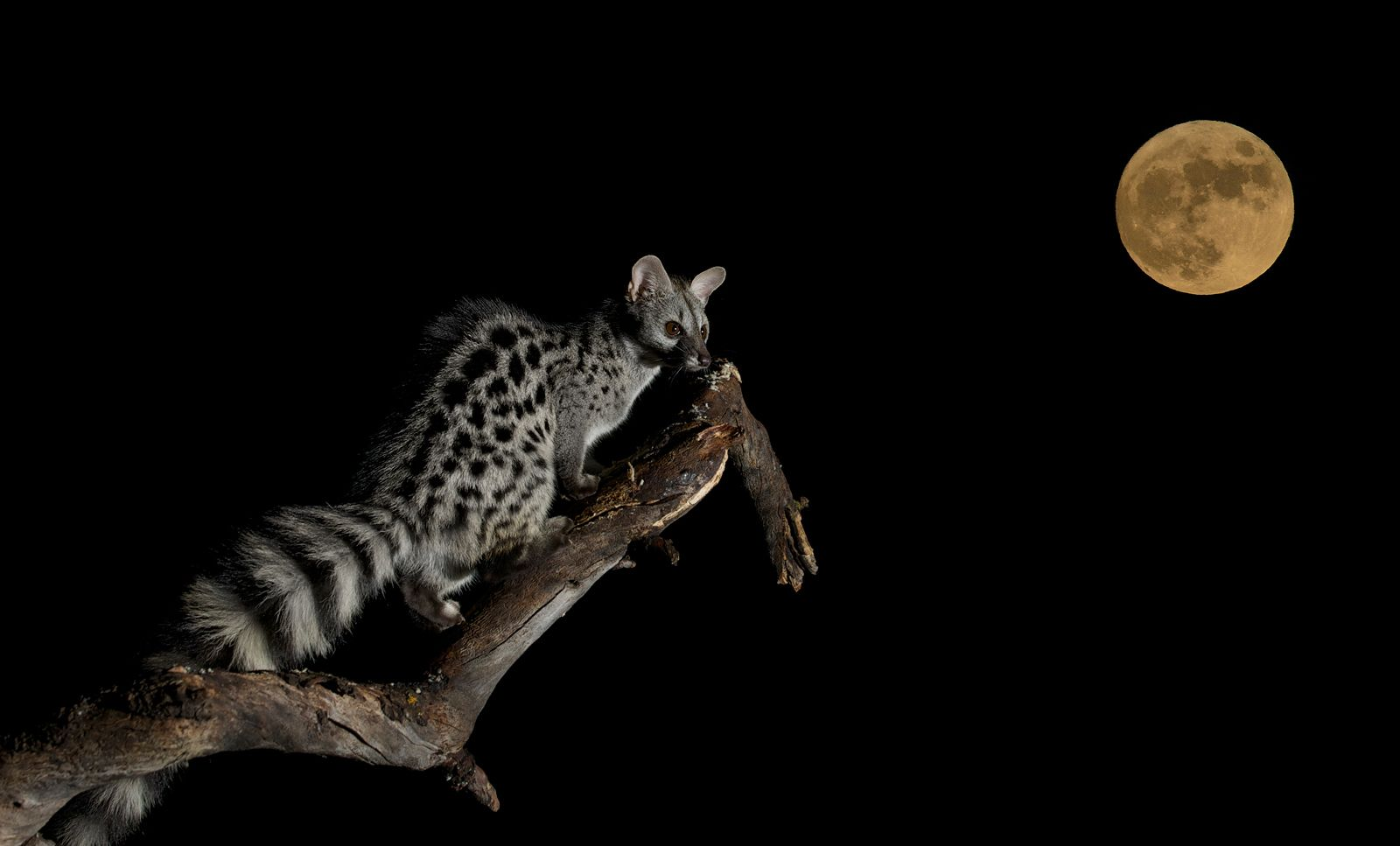 [Genetta genetta] Whispering at the moon ©Javier Villegas
