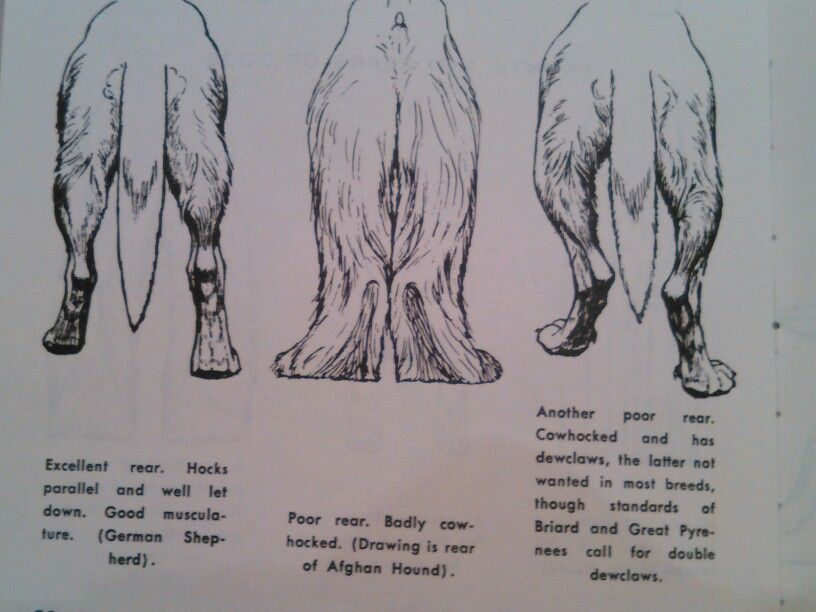 Correct German Shepherd Rear Cow Hocks On Great Pyrenees Mountain Dog And Afghan Hound
