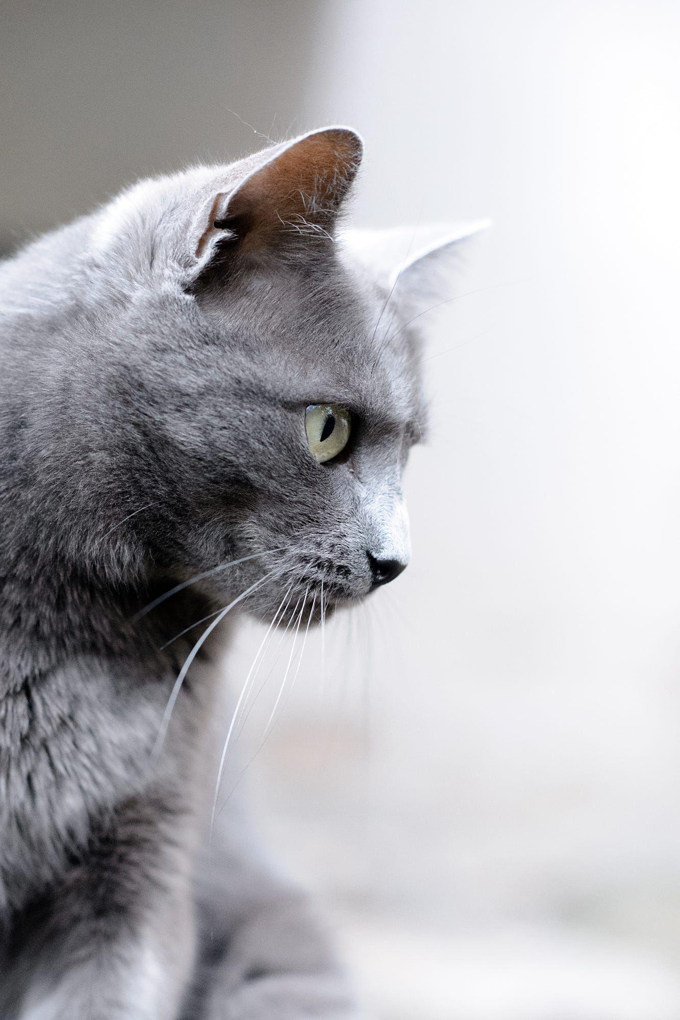 Telemaque By Ergodea Photograhies Russian Blue Blue Cats