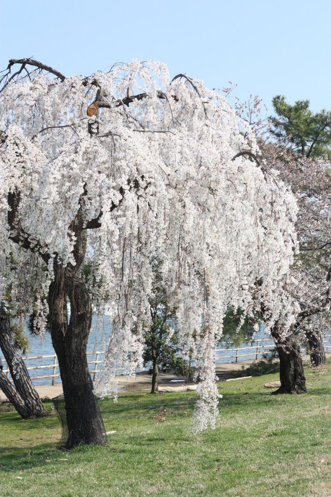 Washington Dc Cherry Blossom 2012 Cicek Agac