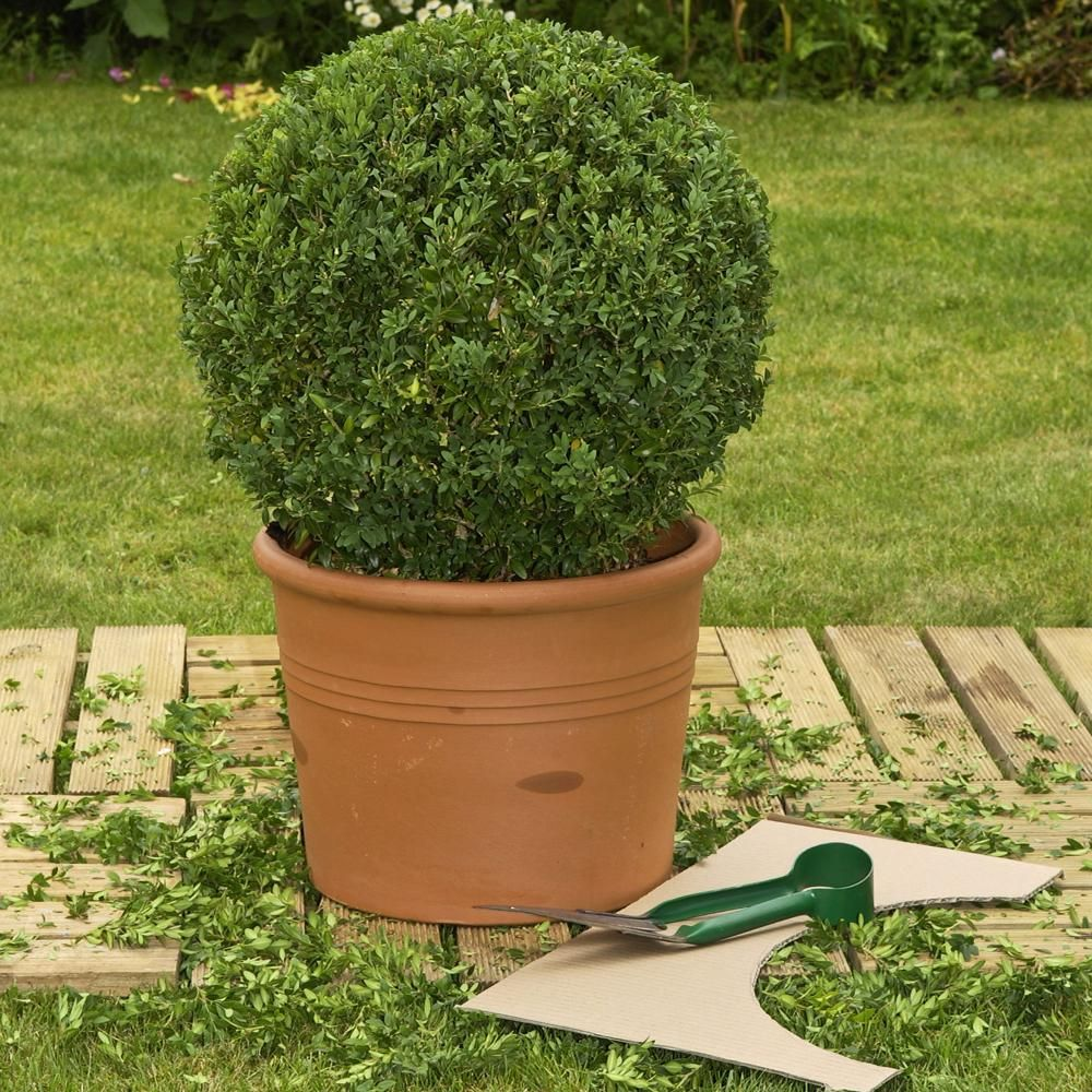 buchsbaum schneiden: tipps rund um den formschnitt | blumen