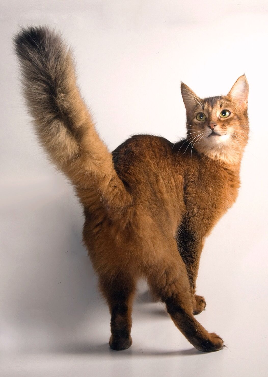 Pin by Matyuhinа Tatiana on Abyssinian cats   Pinterest ...