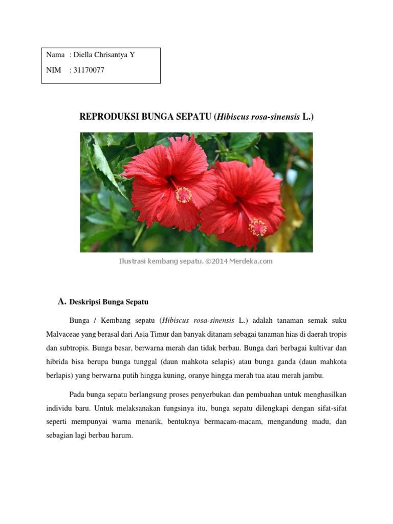 Gambar Sayatan Vertikal Bunga Kembang Sepatu 373100317 Reproduksi Bunga Sepatu Docx Modul 1 Universitas Bunga Kembang Sepatu Kembang Sepatu Tanaman Semak