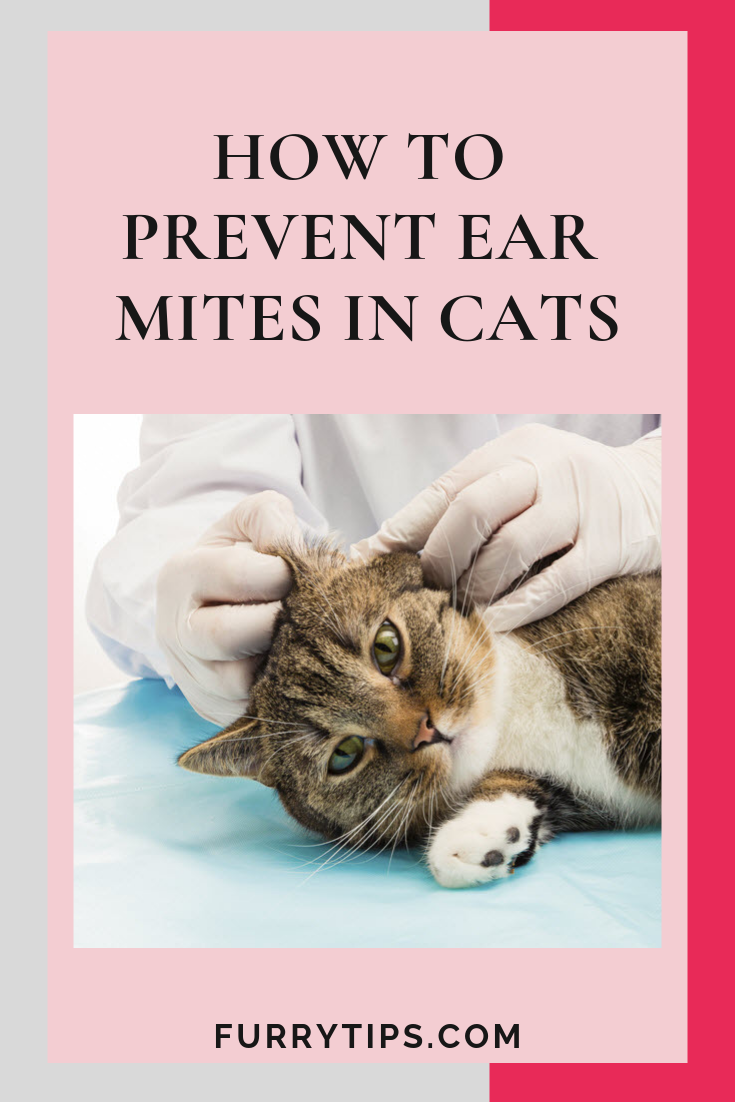 How To Prevent Ear Mites In Cats Cat Ear Mites Cat Care Cats