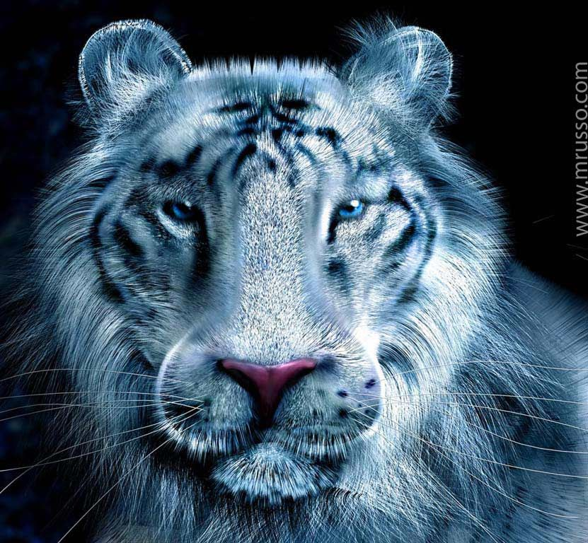 White Tiger CG Channel Forums 3d wallpaper iphone, 3d