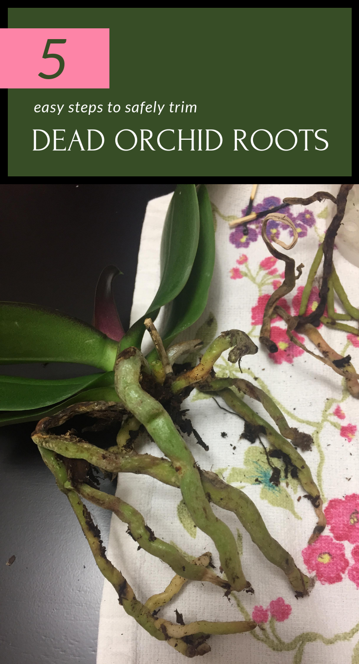 5 Easy Steps To Safely Trim Dead Orchid Roots Orchid Roots Orchid Care Orchids
