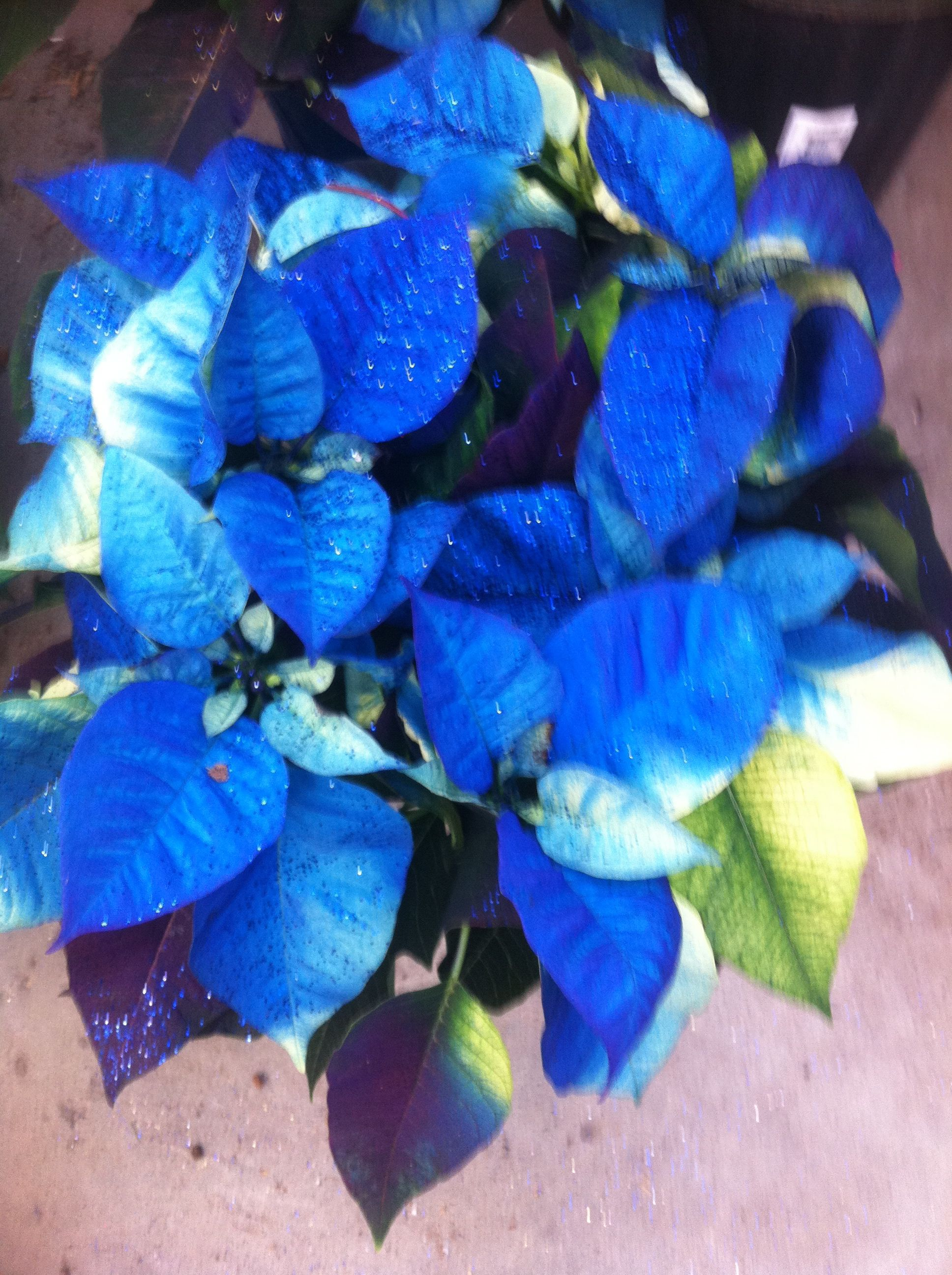 Blue Poinsettia Poinsettia For My Mom Pinterest Poinsettia