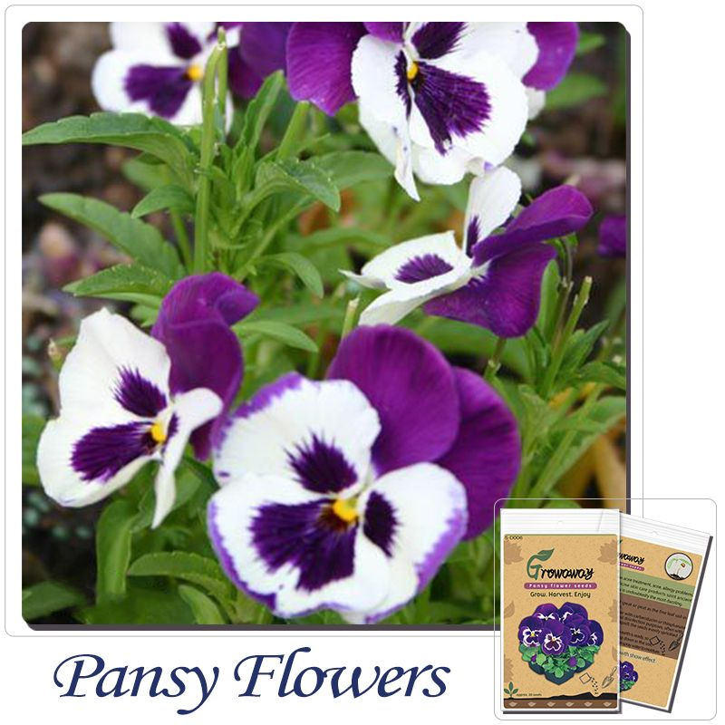 Pansy Between Locus Coeruleus Seed Seeds Balcony Potted Flowers And Seasonal Flowers Of Plants 30 Growing Flowers Seasonal Flowers Flower Pots