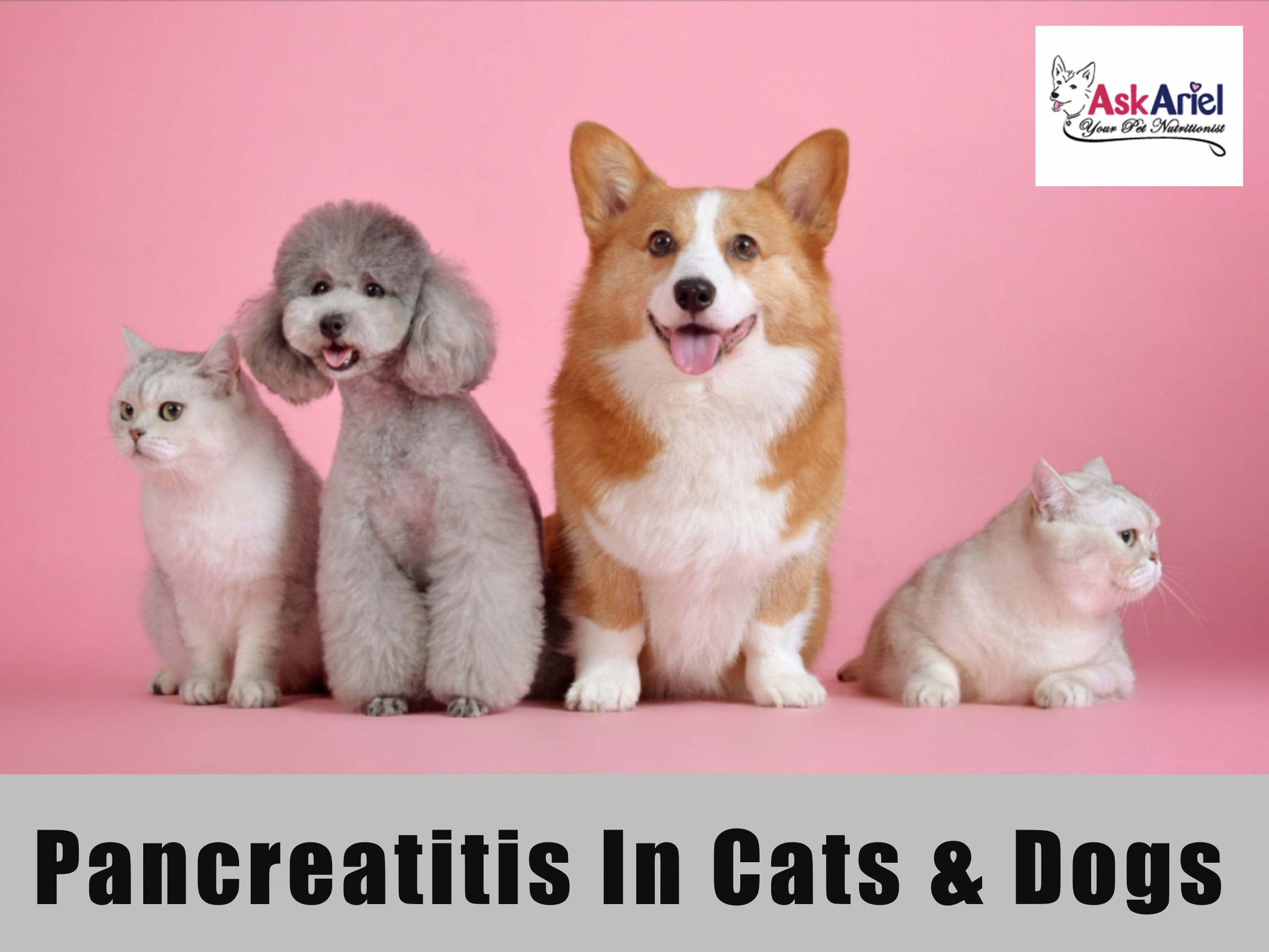 Chronic canine and feline pancreatitis is more common than