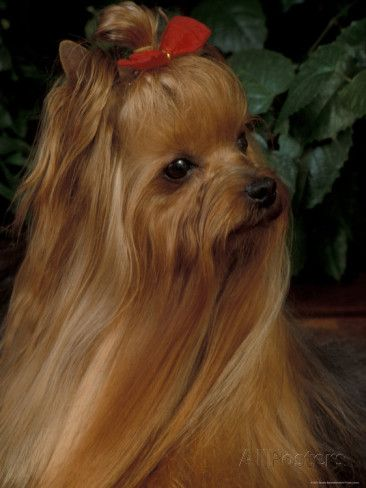 Yorkshire Terrier With Hair Tied Up And Long Hair Photographic
