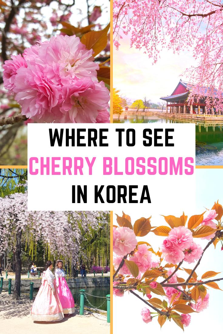 Where To See Cherry Blossoms In Korea Cherry Blossom Korea Korea Travel