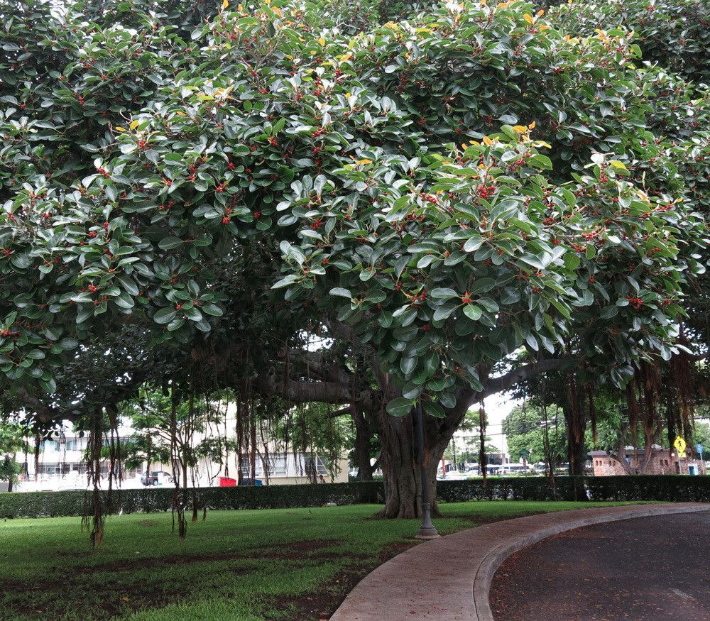 Ficus benghalensis Tree Seeds Ornamental Tropical Plant Ornamental Banyan Fig