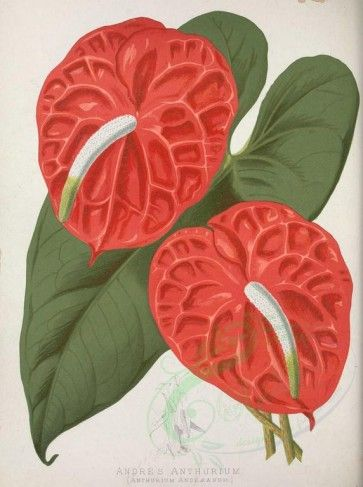 Flowers 16067 Andre S Anthurium Anthurium Andraeanum 3347x4487 Scrapbooking Use Illustration Download Flower Art Drawing Botanical Illustration Anthurium