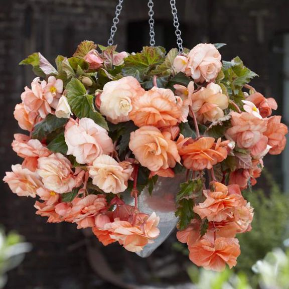 Wholesale Indoor Outdoor Flower Bulbs Direct For Sale Bulb Flowers Hanging Plants Begonia