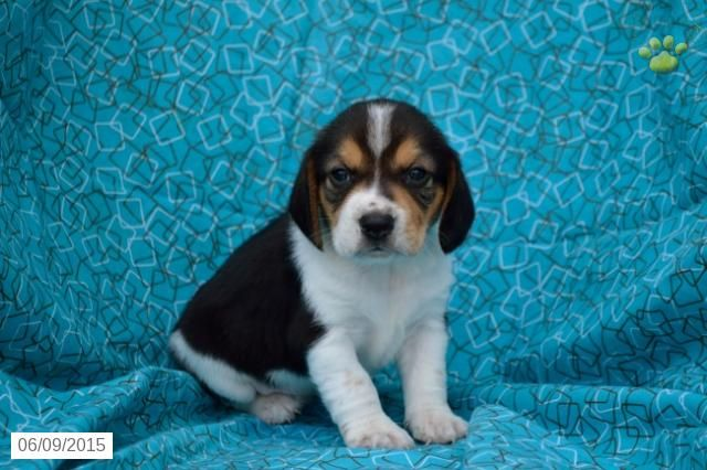 Beagle Puppy For Sale In Ohio Buckeyepuppies Beagle Puppy