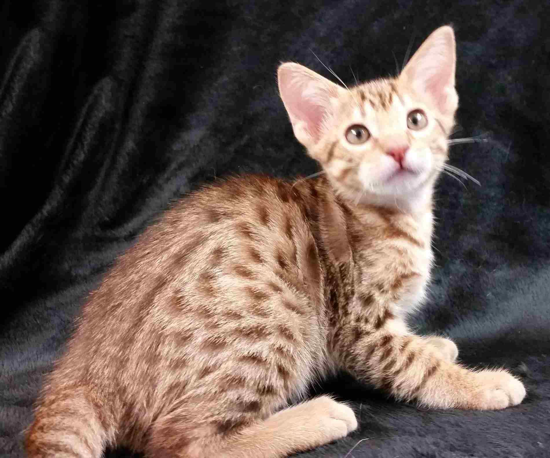 Oriental Cat Breeders Washington State - what is your