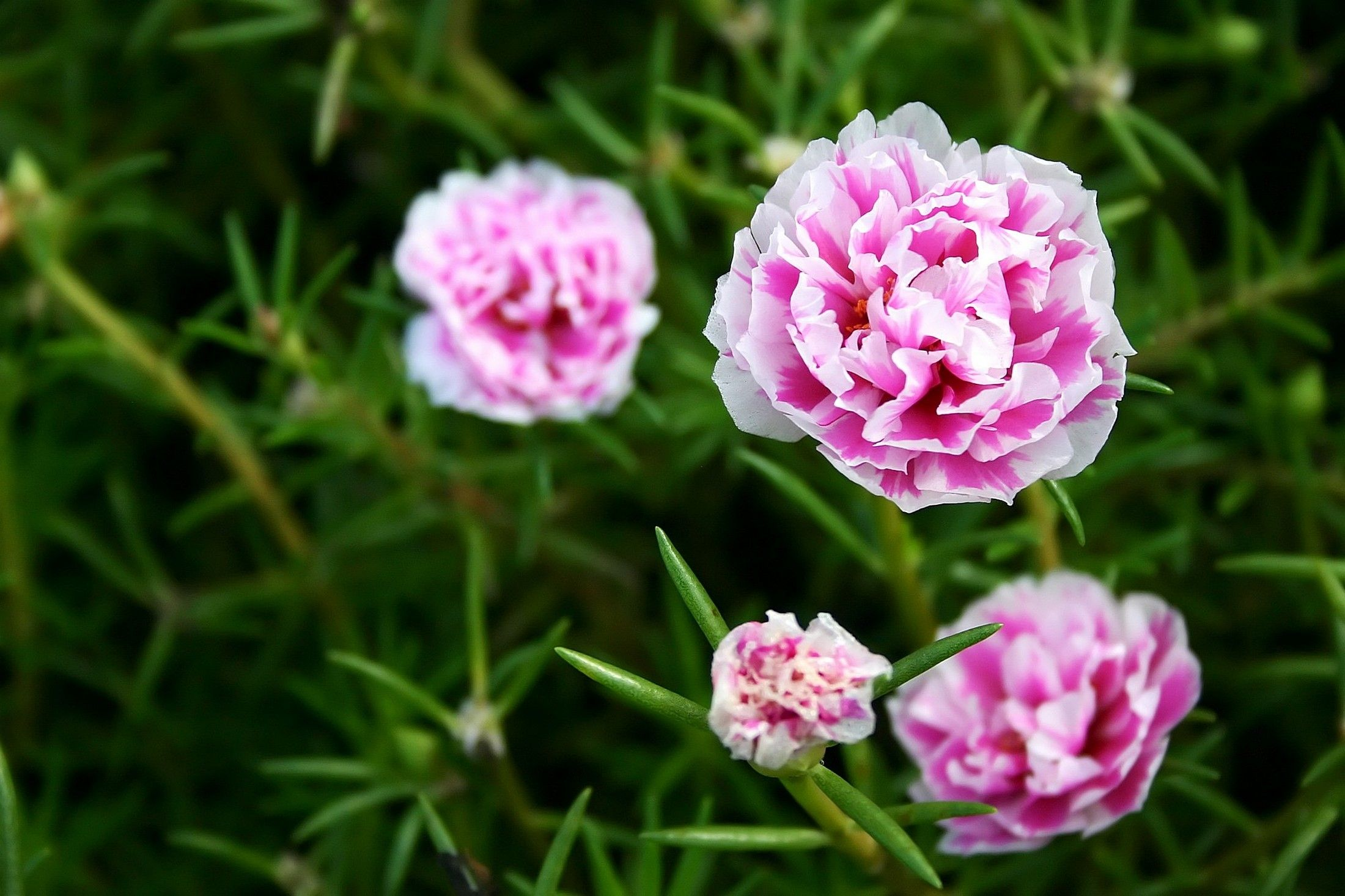 Medicinal Uses Of Carnations Carnations Carnation Flower Flower Meanings