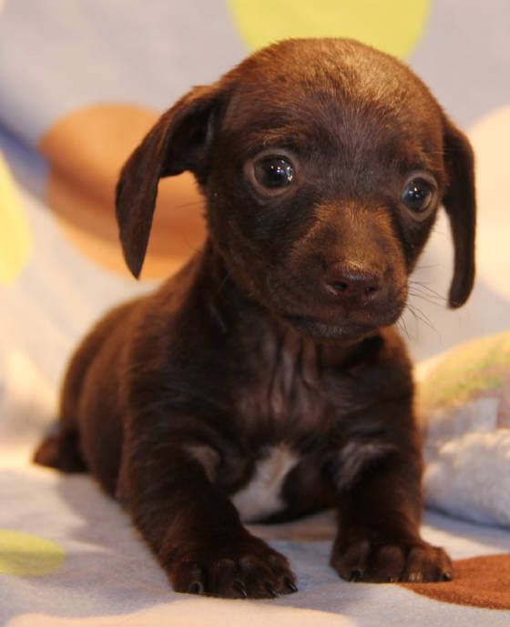 Chocolate Smooth Mini Dachshund Puppies In Co Ca Wa Or Id Mt Wi Mi Mn Mo Il In Nh Nh Nj Ct Puppies Dachshund Puppy Miniature Dachshund Puppies