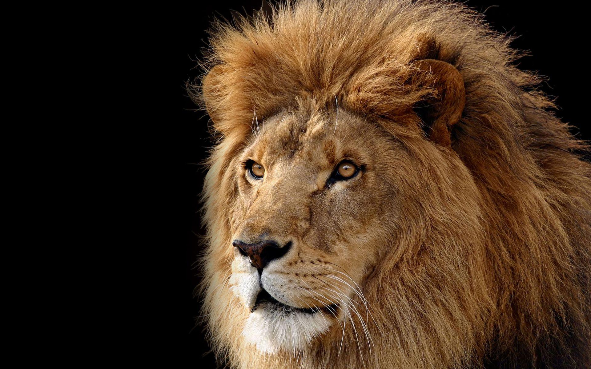 404 Not Found Lion Wallpaper Lion Wallpaper