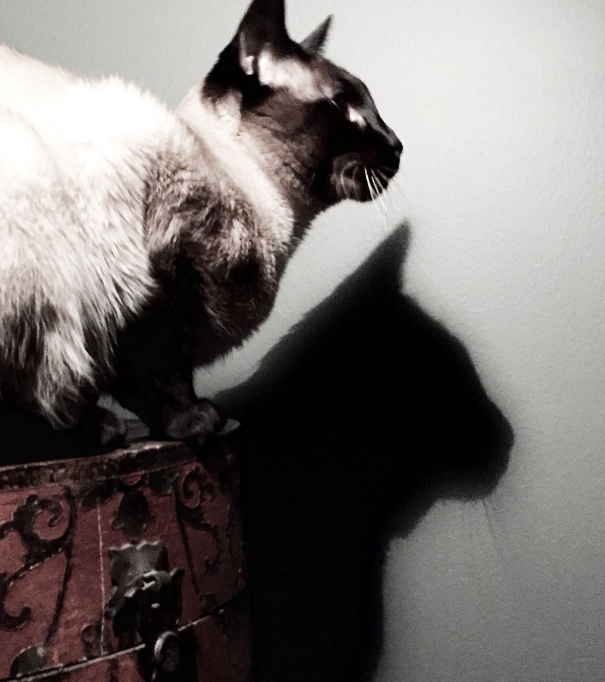 Newman and his shadow Cats, Siamese cats, Animals