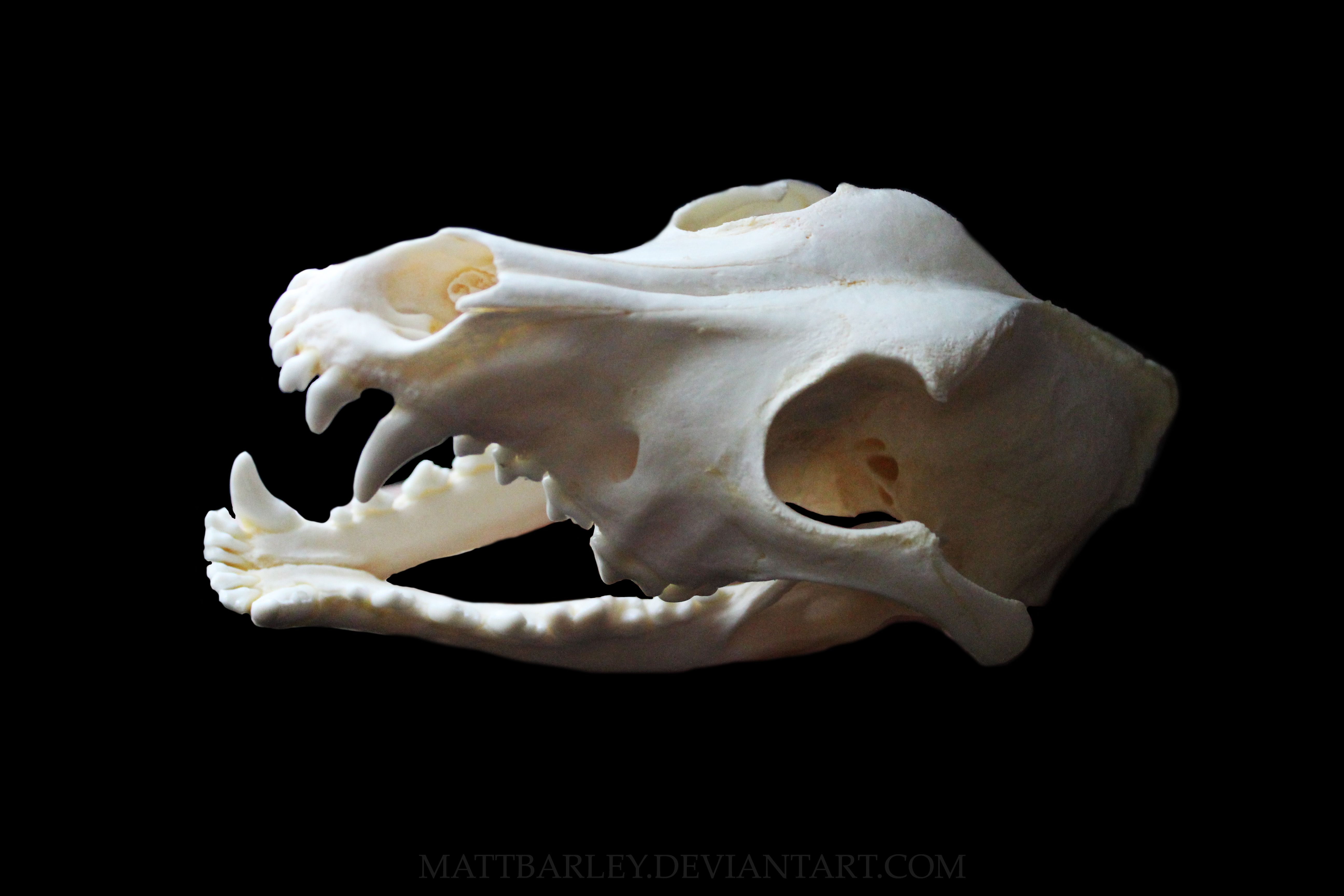 Dog skull side view | skulls | Pinterest | Skull side view, Dog ...