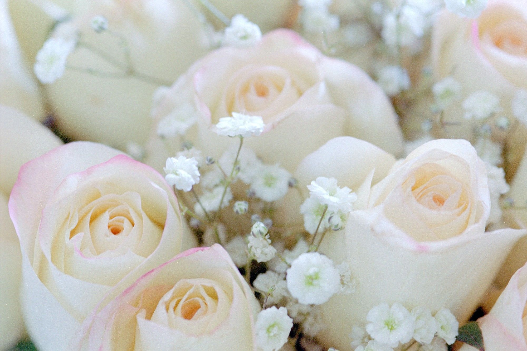 Baby Breath Flowers Meaning Beautiful Flowers Flowers Rose Flower