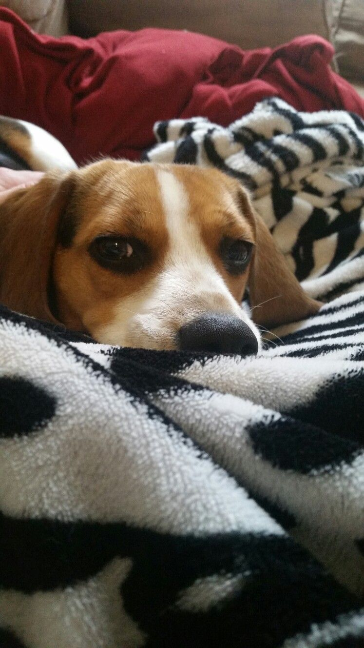 That Look Is The Reason Bad Days Can Turn Into Good Ones Beagle