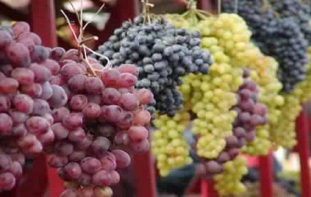 التصديري للحاصلات الزراعيةبدءا تصدير العنب للصين عبر 16 مزرعة الموسم الجاري صورة ا Grapes Fruit Osteoporosis