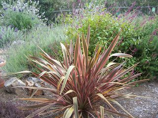 New Zealand Flax Phormium Tenax Maori Chief New Zealand Flax Deer Resistant Garden Evergreen Plants