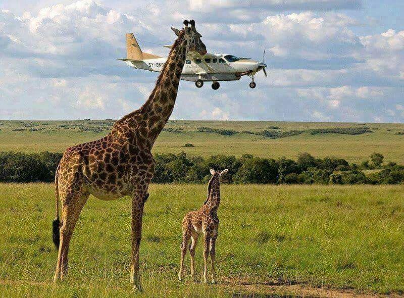 Giraffe mit Flugzeug