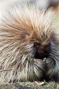 pics of porcupines - Bing Images