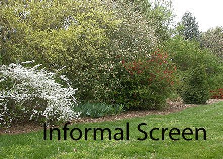 I Want To Have A Natural Privacy Screen To Block Out My Neighbor Privacy Landscaping Privacy Plants Garden Planning