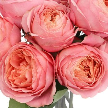 Coral Garden Rose pink antique garden rose | garden roses, peony and romantic