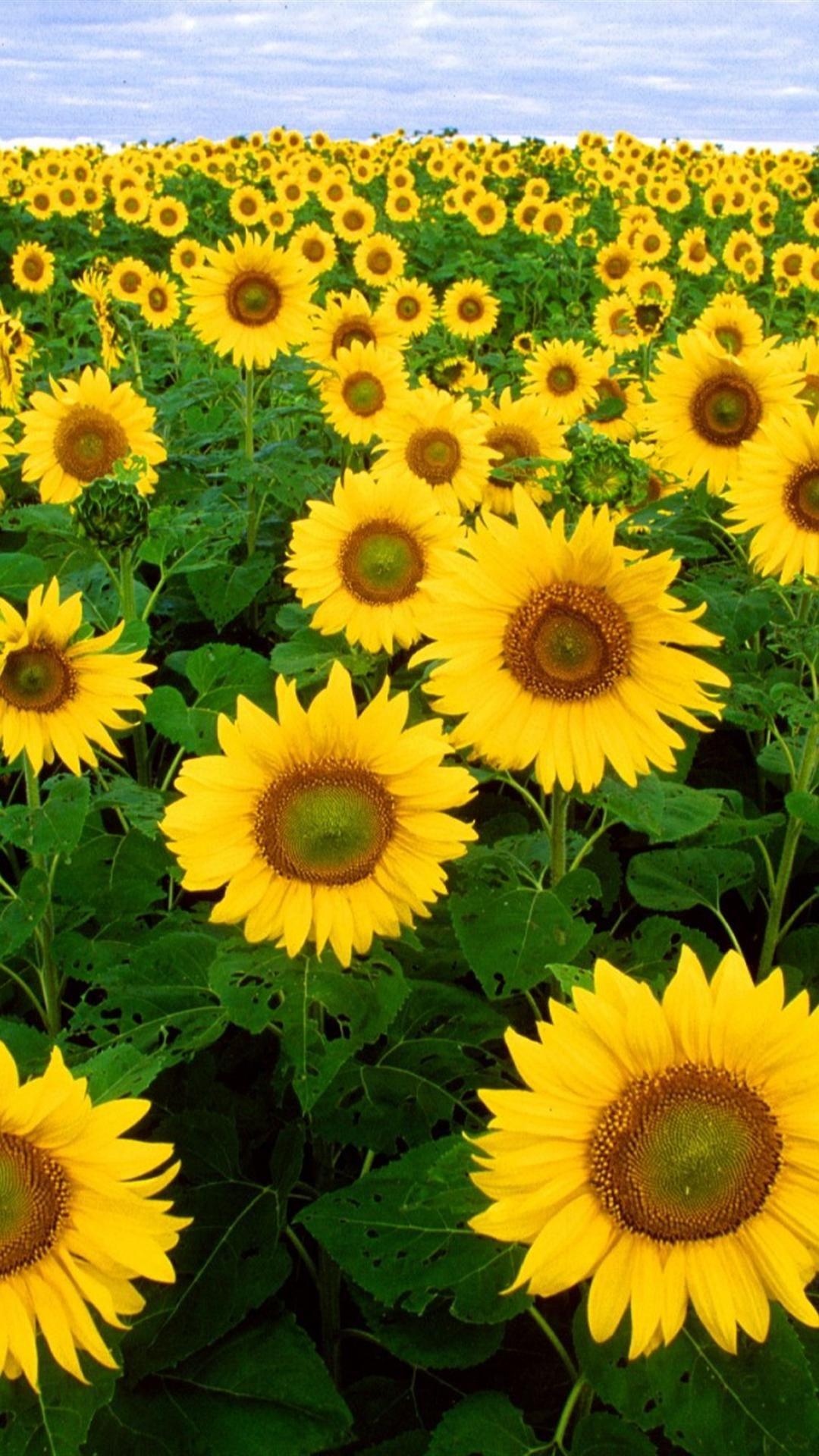 Sunflower Field Iphone Wallpaper Sunflowers Background Sunflower Wallpaper Sunflower Fields