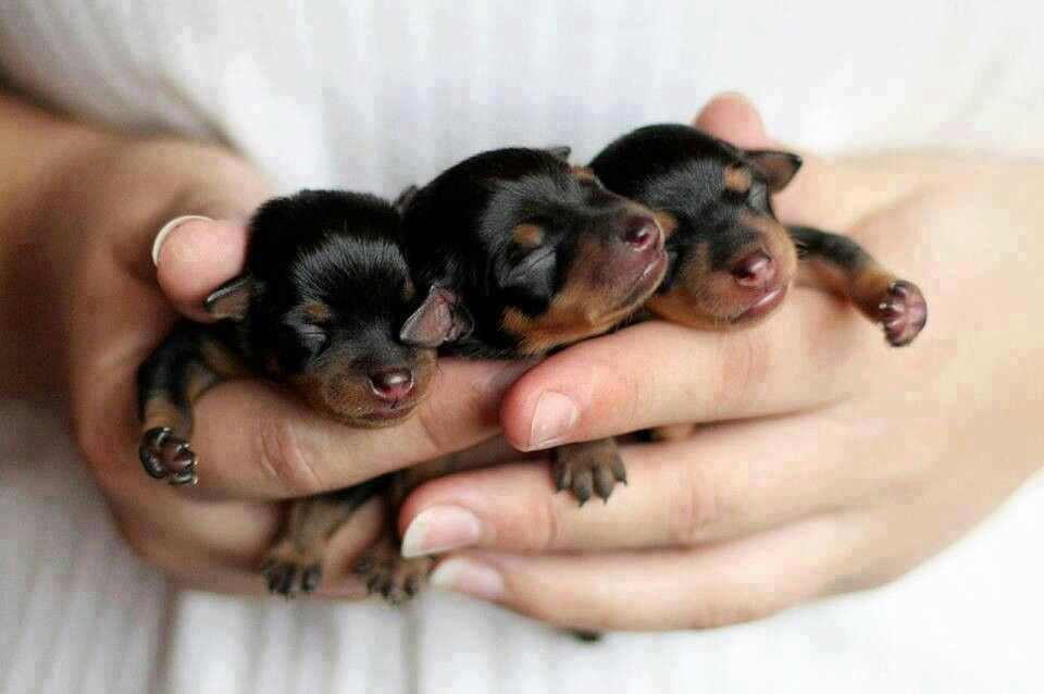 Awwww Tiny Rottweiler Puppies Newborn Puppies