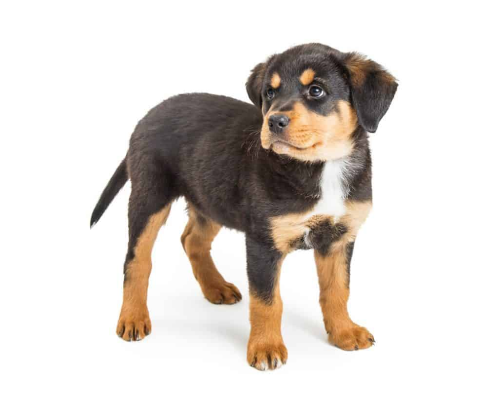 Rottweilers Are One Of America S Favorite Breeds They Are Very High Quality Dogs And Because Of This Their Price Is An Import In 2020 Rottweiler Pets Puppy Supplies