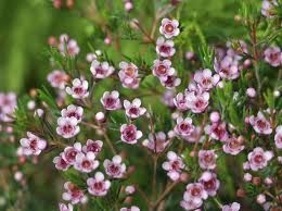 Wax Flowers Evergreen With Long Lasting Blooms Australian Flowers Australian Native Flowers Australian Native Plants