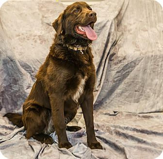 Birmingham Al Chesapeake Bay Retriever Golden Retriever Mix