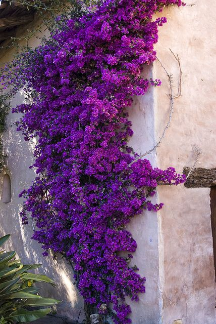 Climbing flowers at mission carmel by scott severn via flickr climbing flowers pinterest - Wijnstokken pergola ...