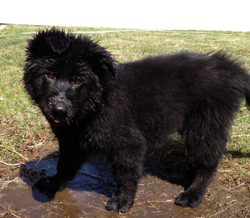 Kenai black german shepherd dog at appprox 8 weeks i