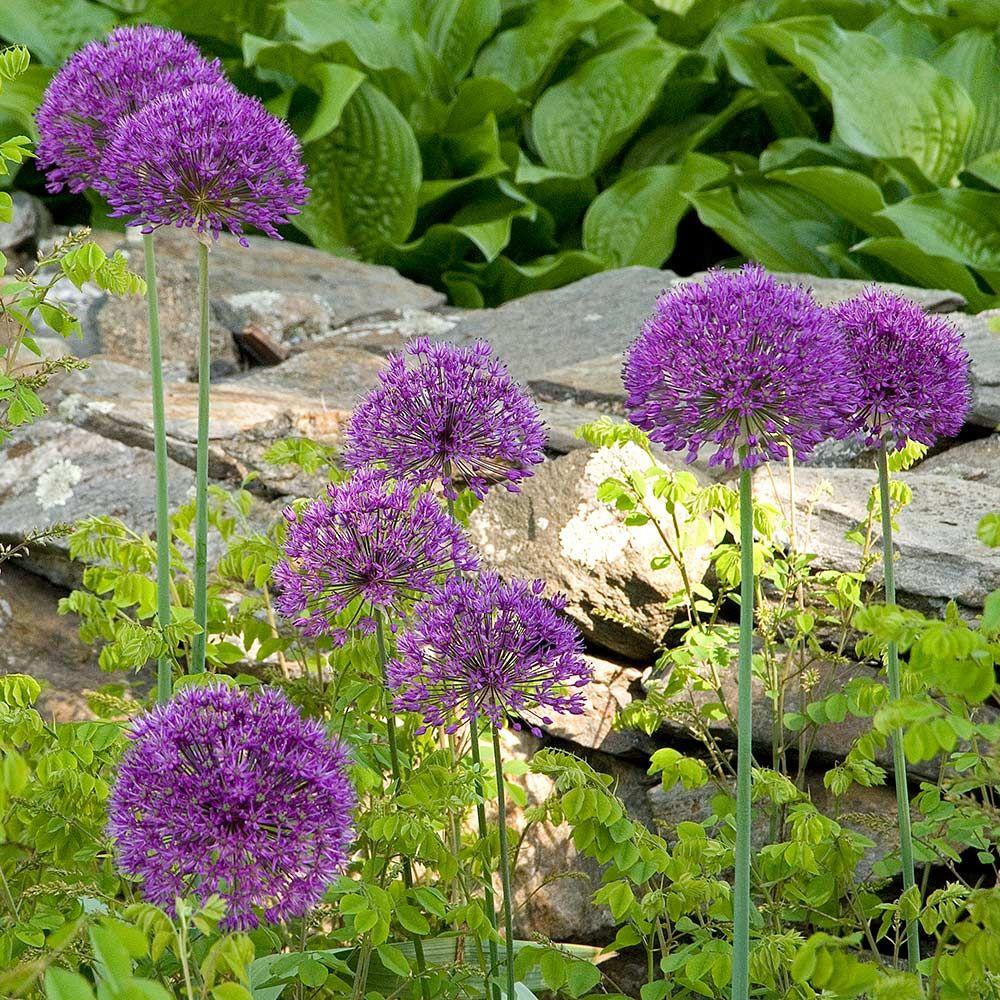 Allium Purple Sensation In 2020 White Flower Farm Landscaping With Rocks Herbaceous Perennials