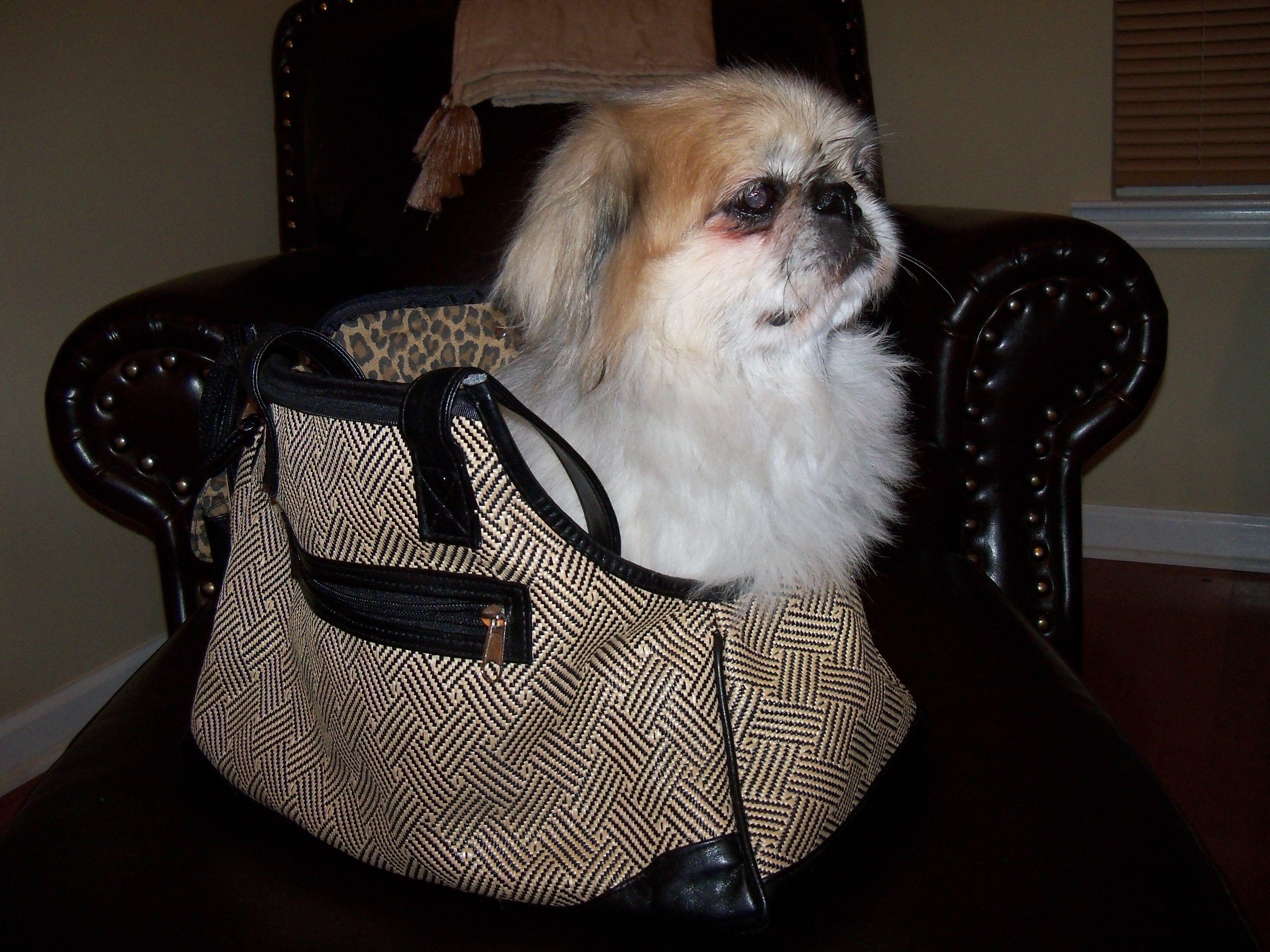 Butchie I Am Ready To Go Shopping Pekingese Pekingese Dogs Go Shopping