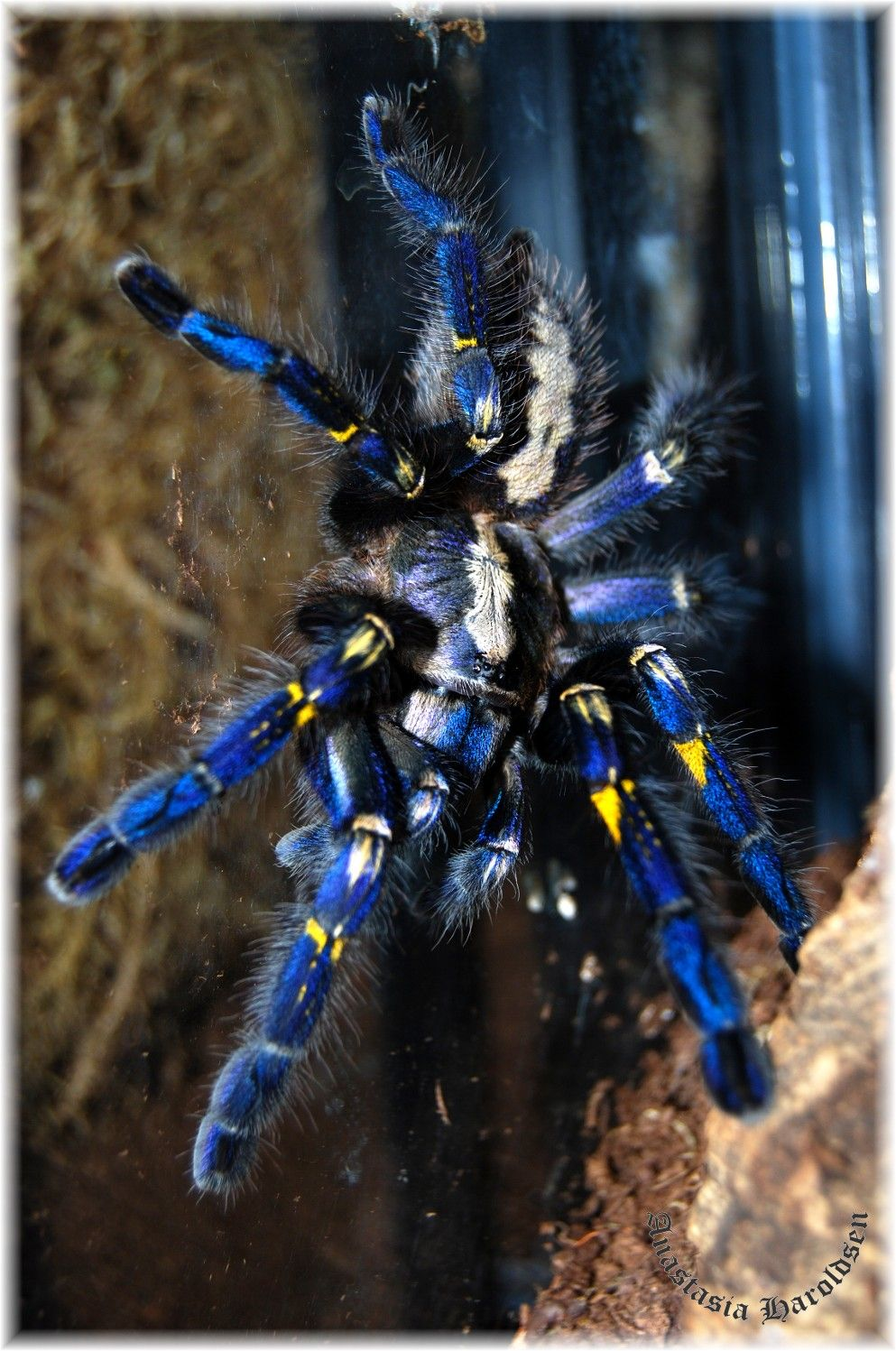 Poecilotheria metallica Creepy yet captivating | invertebrates and ...