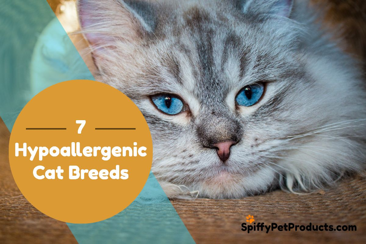 Which Cats Are Hypoallergenic Siberian Cat Cat Breeds Fancy Cats