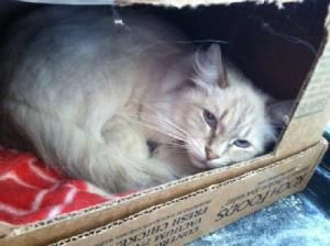 St Paul Mn Domestic Shorthair Meet Red A Cat For Adoption Http Www Adoptapet Com Pet 12667958 St Paul Minneso Cat Adoption Kitten Adoption Orange Cats