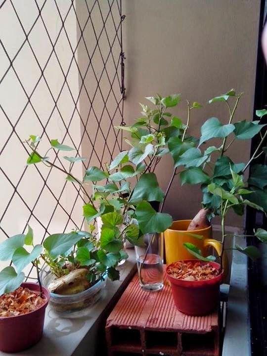 .: Batatas Doces e uma nova paisagem na janela
