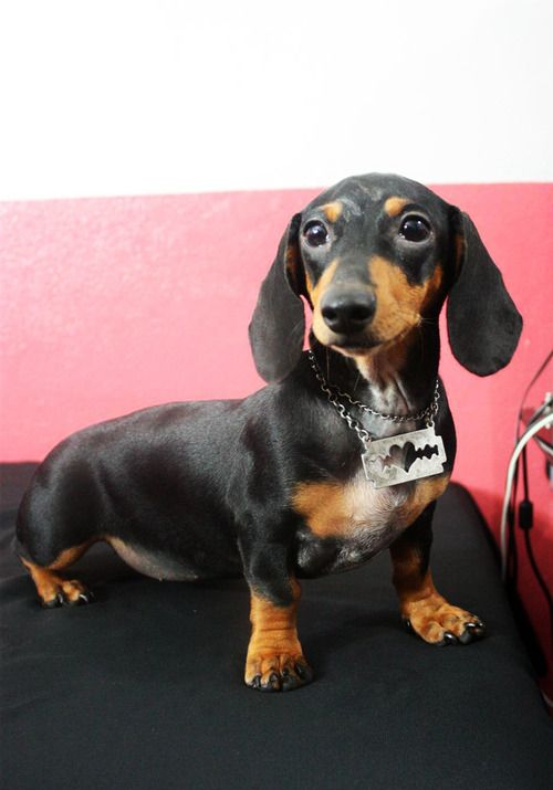 5 Month Old Dachshund Puppy Named Snickers From Ponce Puerto Rico
